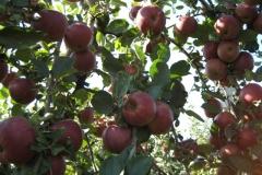 Bielaar appels