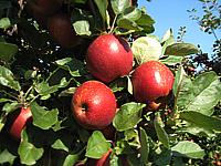 Appels(2)_200px